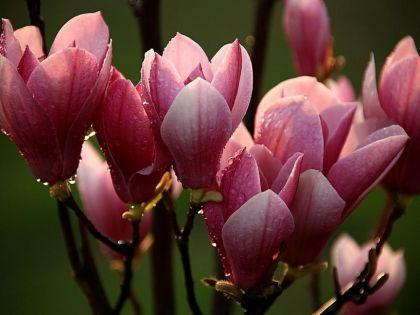 Magnolia mov (Magnolia liliflora Nigra)