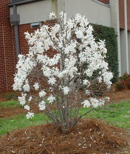 Magnolia stelata (Magnolia stellata)