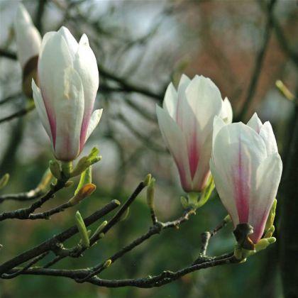Magnolia superba (Magnolia sou. Superba)