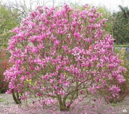 Magnolia susan (Magnolia Susan)