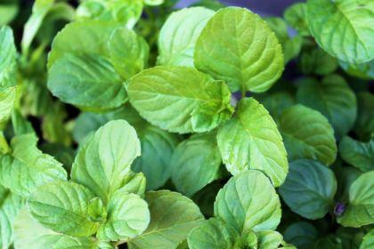Menta cu aroma de lamaie (Mentha piperita lemonfresh)