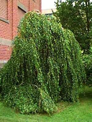 Mesteacan pletos (Betula pendula Youngii)