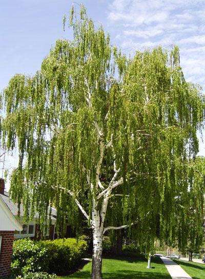 Mesteacan suedez (Betula pendula Dalecarlica)