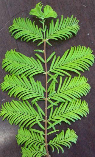 Metasequoia  (Metasequoia glyptostroboides) 80-120 cm