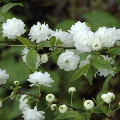 Migdal japonez alb (Prunus glandulosa Alba Plena)