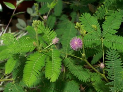 Mimoza (Mimosa pudica)
