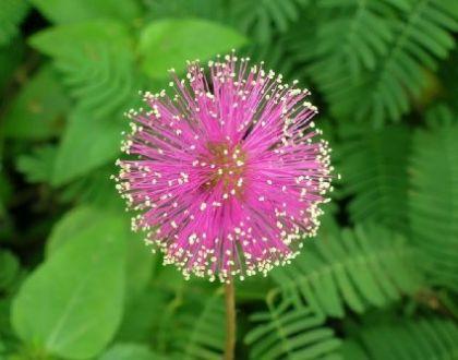 Mimoza pudica seminte