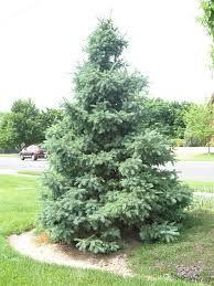 Molid alb (Picea glauca)