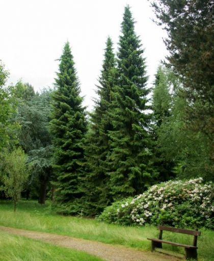 Molid sarbesc (Picea omorika) 50-80 cm