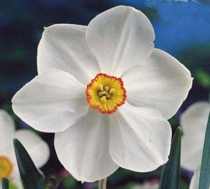 Narcise Poeticus Actaea (Narcissus Poeticus Actaea)