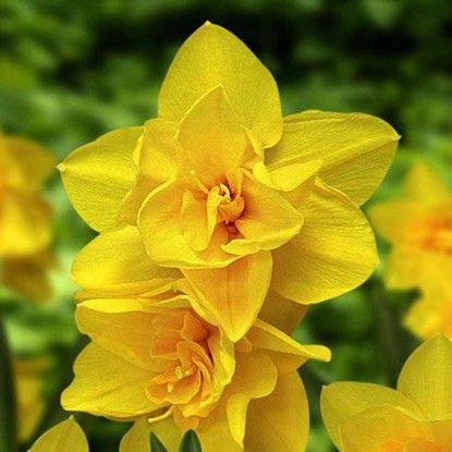 Narcise Yellow Cheerfulness (Narcissus Yellow Cheerfulness)