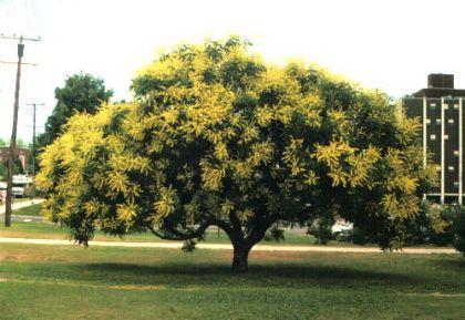 Otetar galben (Koelreuteria paniculata)