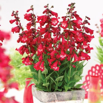 Penstemon hartwegii Polaris Red