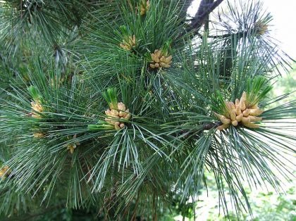 Pin macedonean (Pinus peuce)