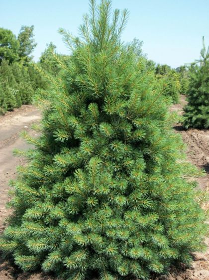 Pin neted (Pinus strobus) 30-50 cm