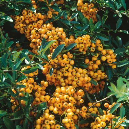 Piracanta galbena (Pyracantha Golden Charmer)