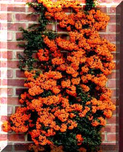 Piracanta portocalie (Pyracantha Orange Glow)