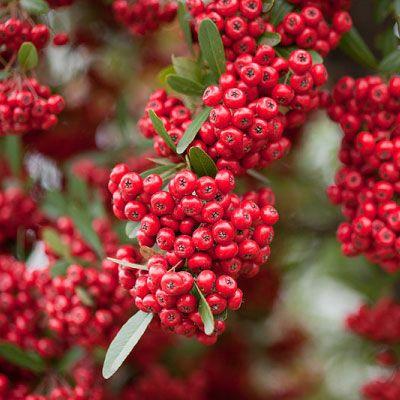 Piracanta rosie (Pyracantha Red Column)