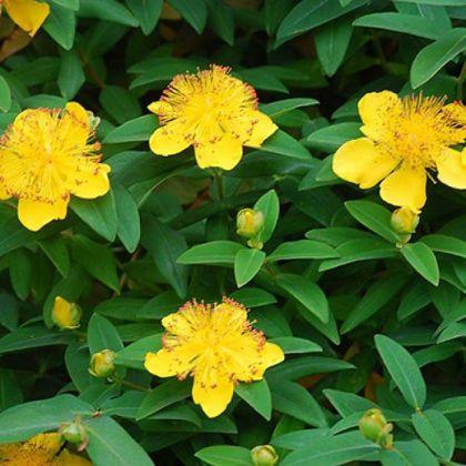 Pojarnita (Hypericum calycinum)