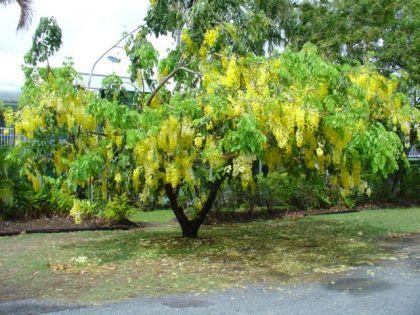 Salcam galben (Laburnum anagyroides)