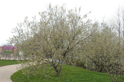 Salcie capreasca (Salix caprea)