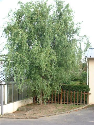 Salcie creata (Salix metsudana tortuosa)