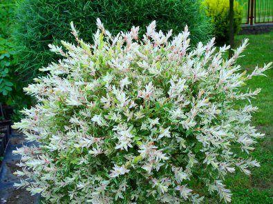 Salcie japoneza (Salix integra Hakuro Nishiki)