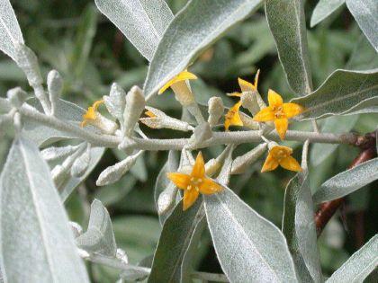 Salcioara (Eleagnus angustifolia)