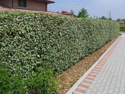 Salcioara vesnic verde (Eleagnus ebbingei)