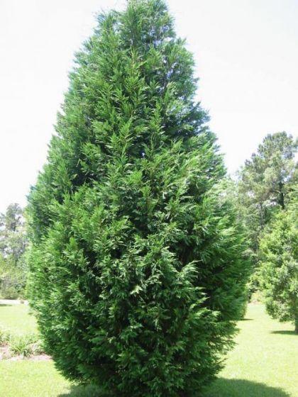 Seminte de chiparos (Chamaecyparis lawsoniana)