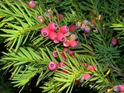 Seminte de tisa  (Taxus baccata)