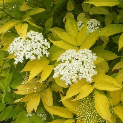 Soc galben (Sambucus nigra Aurea)