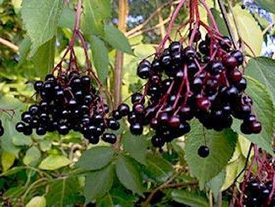 Soc (Sambucus nigra)