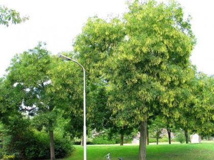 Sofora, salcam japonez (Sophora japonica) 60-90 cm
