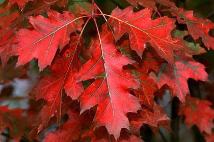 Stejar rosu (Quercus rubra) 100-150 cm