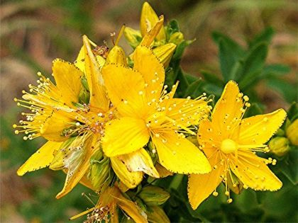 Sunatoare (Hypericum perforatum )