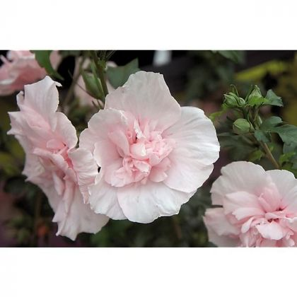 Trandafir chinezesc roz (Hibiscus moscheatus)