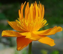 Trollius chinensis Golden Queen