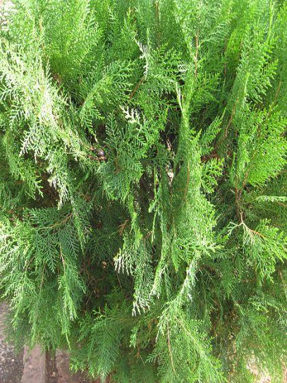 Tuia, biota (Thuja orientalis) 60-100 cm