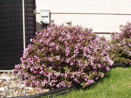 Weigela purpurie (Weigela florida Nana Purpurea)