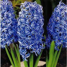 Zambile Blue jacket 16/17(Hyacinthus Blue jacket)