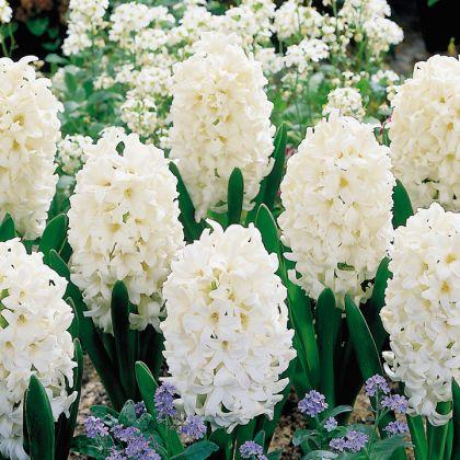 Zambile Carnegie 14/15(Hyacinthus Carnegie)