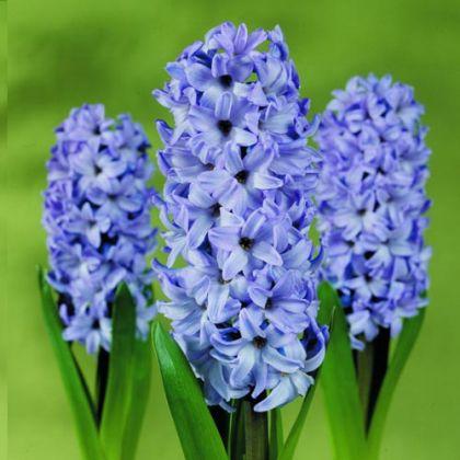 Zambile Delfts blue 18/19(Hyacinthus Delfts blue)