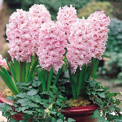 Zambile Fondante (Hyacinthus Fondante)