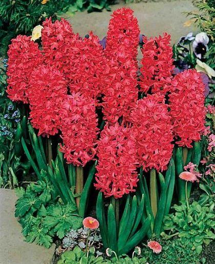 Zambile - Jan Bos (Hyacinthus)