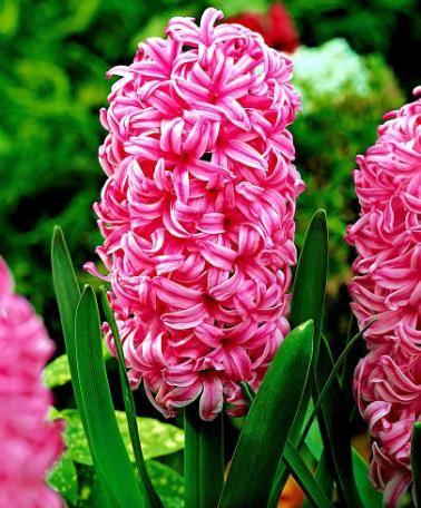 Zambile - Pink Pearl