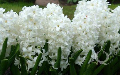 Zambile - White Pearl