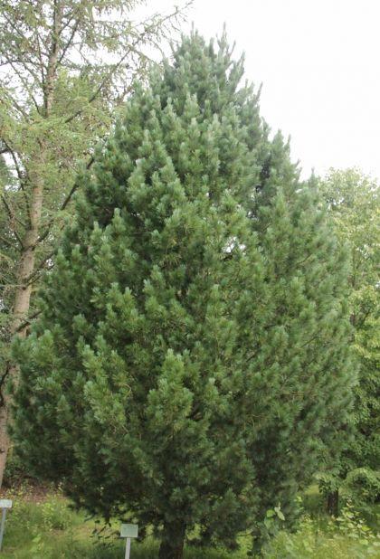 Zambru (Pinus cembra)