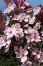 Cires rosu (Prunus cistena) 60-90 cm