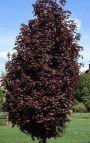 Corcodus rosu (Prunus cerasifera Woodii)